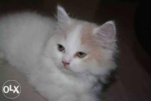 Friendly persian kittens available.