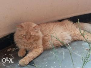 Persian cat male available with high quality. fur