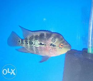 SRD male Head popped Imported Flowerhorn active