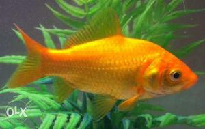 1.5 inch common gold fish.Healthy and active