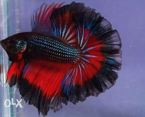 All types of fighter fish availabal male and