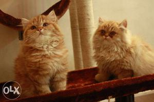 Furry and cute Persian kittens