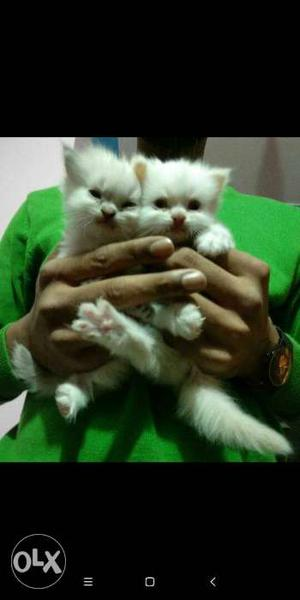 Himalayan persian male n female kittens available