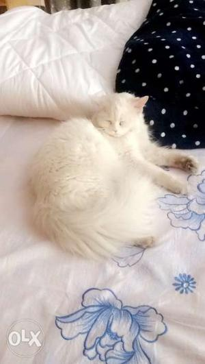 White female pure breed persian (FOR MATING ONLY)