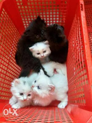 All Types Of Persian Kittens available here