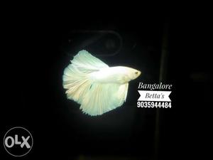 All Types bettas available and for location and