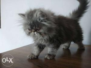 Extreme punch face persian cat very active.