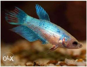 Female betta fish for sale