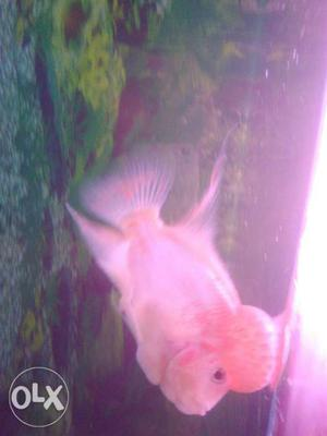 Fish tank. flowerhorn fish, light, tank size3 feet