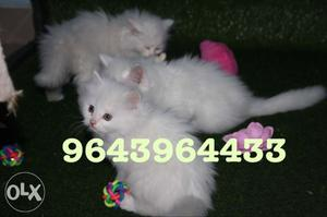 Friendly and Adorable Persian Kittens Available.