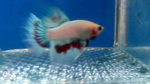 Imported Betta Fish With Stunning Tricolor Fins