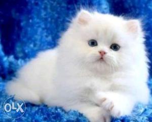 Long-fur White Persian Kitten available