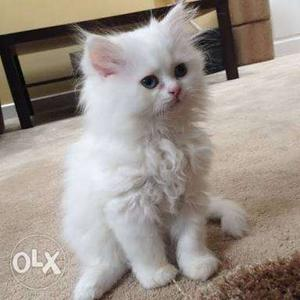 Persian cats available pure breed white colour