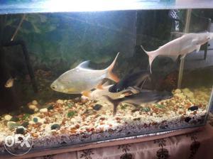 Two Black And Three Gray Pet Fish
