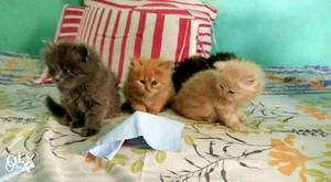We buy and sale All colors Kittens available in Mumbai