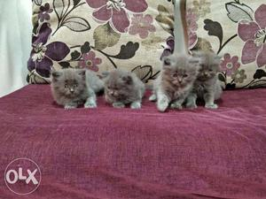We buy and sale Persian cat available in Mumbai in all