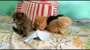 We buy and sale Persian cat very active and healthy