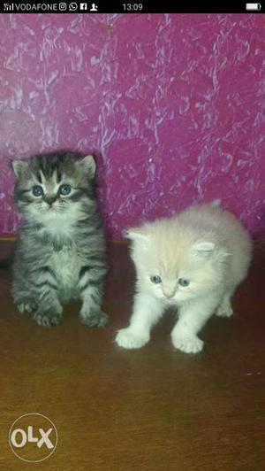 We buy and sale Persian kittens available at rs