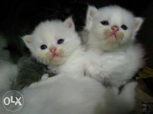 We buy and sale persian kittens in Mumbai Govandi