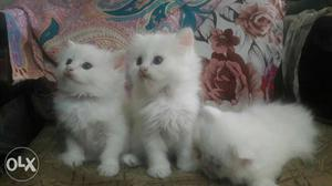 We buy and saleWhite Kitten available in Mumbai  rs each