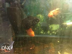 1 pair Parot fish and 1 pair Oscar with heater,