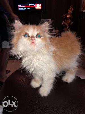2 months old Persian cat very active and very