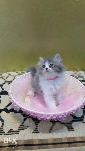 Buy kittens online delhi