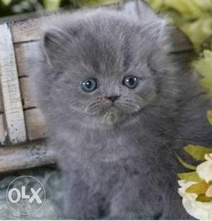 Grey persian kitten available in Mumbai