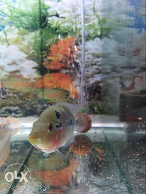 Imported male red dragon flowerhorn fish with