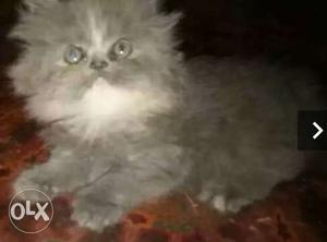 Persian kitten for sale 85days old very active