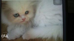 Persian kittens for sale online in delhi from