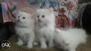 We buy and sale Persian male and female cat  each
