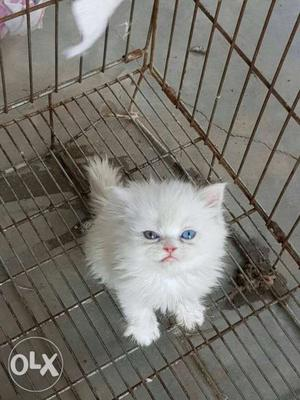 White pure breed persian kittens available for