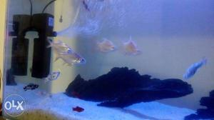 18 molly fishes (white black and red) and 4 tinfoil fishes.