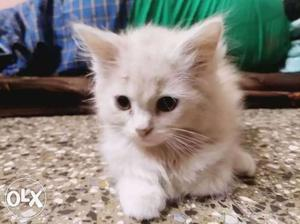 3 months old male persian kitten for sale