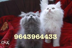 Adorable and Cute Furry Persian Kittens Available