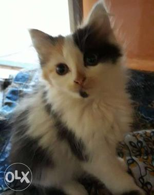 Calico Persian Kitten for sale
