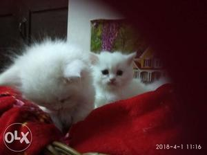 Home raised Persian kittens white color. Call