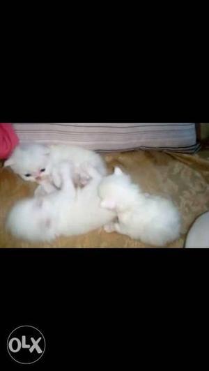 Persian cats kitten white female per kitten