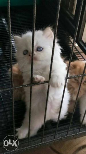 White Brown calico Kittens