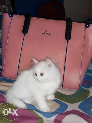 Best quality Persian kitten available for sell in