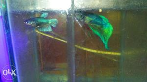 Betta male and female ready for breeding only in
