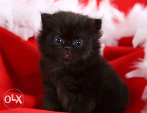 Male Female Kitten Persian available in Mumbai thane kalyan