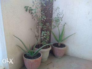2 Aloe Vera in cement pots and 1 Tulsi in plastic