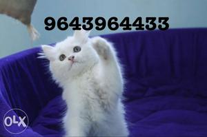 Active and Curious Persian Kittens Available. All