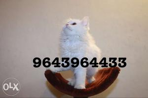Friendly and Funny Persian Kittens Available for