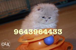 Import Lineage Persian Kittens Available for