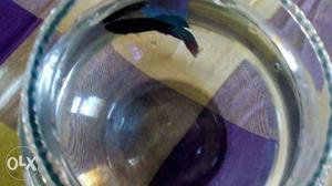 Male Betta fish for sale.