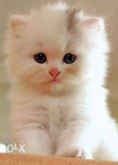 Very nice persian kitten for sale in noida cod