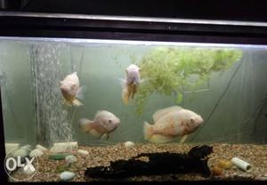 About 7 to 8 inch size albino Oscar all for